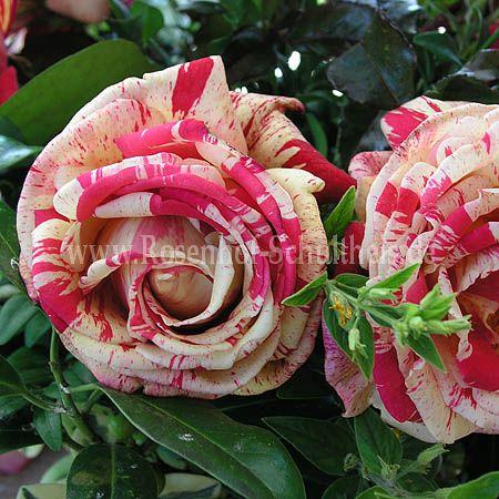 broceliande rosen online kaufen im rosenhof schultheis rosen online kaufen im rosenhof. Black Bedroom Furniture Sets. Home Design Ideas