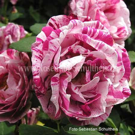 ferdinand pichard rosen online kaufen im rosenhof. Black Bedroom Furniture Sets. Home Design Ideas