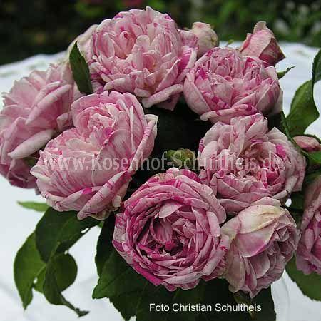 province panach e rosen online kaufen im rosenhof schultheis rosen online kaufen im rosenhof. Black Bedroom Furniture Sets. Home Design Ideas