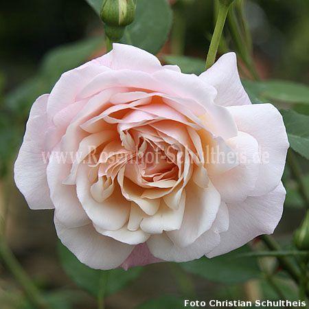 climbing gru an aachen rosen online kaufen im rosenhof schultheis rosen online kaufen im. Black Bedroom Furniture Sets. Home Design Ideas