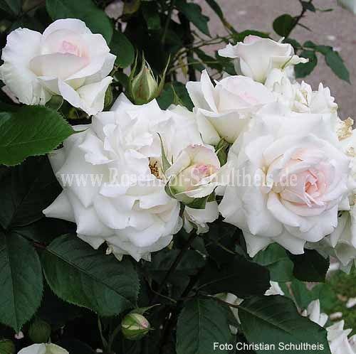 schwanensee rosen online kaufen im rosenhof schultheis rosen online kaufen im rosenhof. Black Bedroom Furniture Sets. Home Design Ideas