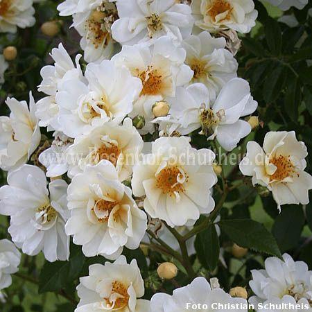 lykkefund rosen online kaufen im rosenhof schultheis rosen online kaufen im rosenhof schultheis. Black Bedroom Furniture Sets. Home Design Ideas