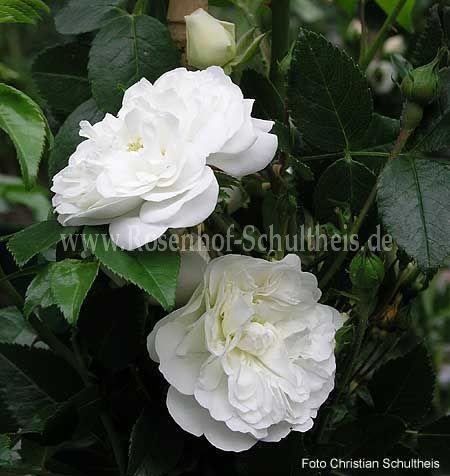 sander 39 s white rambler rosen online kaufen im rosenhof. Black Bedroom Furniture Sets. Home Design Ideas