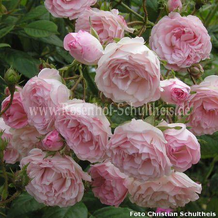 frau eva schubert rosen online kaufen im rosenhof schultheis rosen online kaufen im rosenhof. Black Bedroom Furniture Sets. Home Design Ideas