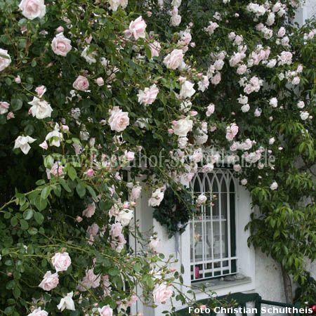 new dawn rosen online kaufen im rosenhof schultheis rosen online kaufen im rosenhof schultheis. Black Bedroom Furniture Sets. Home Design Ideas