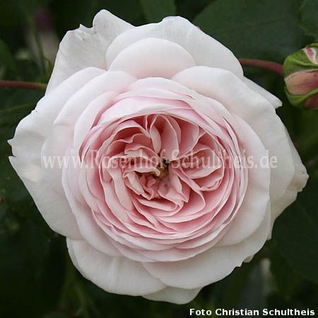 schultheis rose millenium rosen online kaufen im rosenhof schultheis rosen online kaufen im. Black Bedroom Furniture Sets. Home Design Ideas