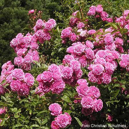 taunusbl mchen rosen online kaufen im rosenhof. Black Bedroom Furniture Sets. Home Design Ideas