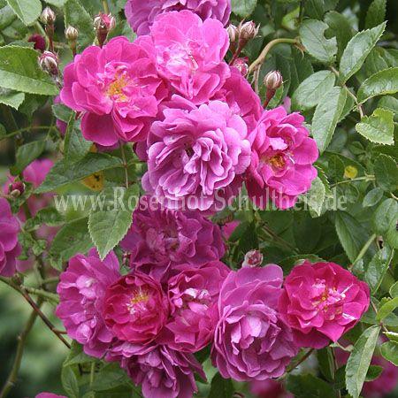 taunusbl mchen rosen online kaufen im rosenhof schultheis rosen online kaufen im rosenhof. Black Bedroom Furniture Sets. Home Design Ideas