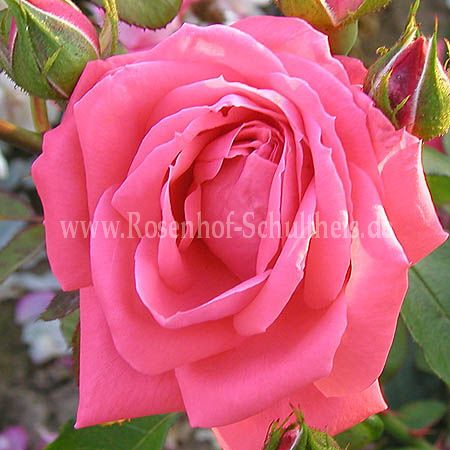 coral satin rosen online kaufen im rosenhof schultheis rosen online kaufen im rosenhof. Black Bedroom Furniture Sets. Home Design Ideas