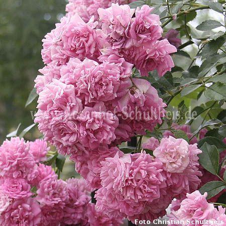 super dorothy rosen online kaufen im rosenhof schultheis rosen online kaufen im rosenhof. Black Bedroom Furniture Sets. Home Design Ideas