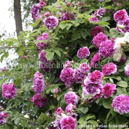 himmelsauge rosen online kaufen im rosenhof schultheis rosen online kaufen im rosenhof. Black Bedroom Furniture Sets. Home Design Ideas