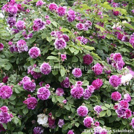 russeliana rosen online kaufen im rosenhof schultheis rosen online kaufen im rosenhof schultheis. Black Bedroom Furniture Sets. Home Design Ideas