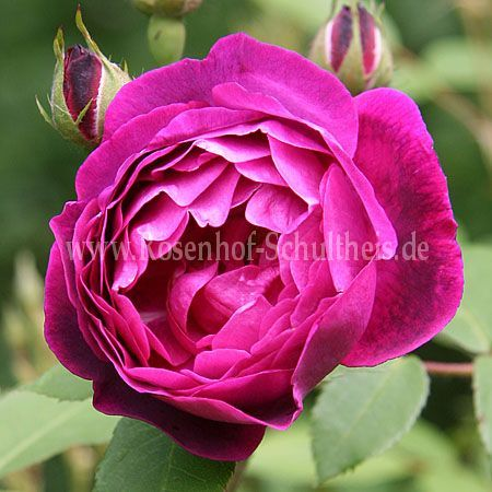 futtacker schlingrose rosen online kaufen im rosenhof. Black Bedroom Furniture Sets. Home Design Ideas