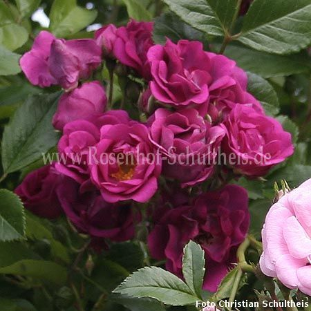 non plus ultra rosen online kaufen im rosenhof schultheis rosen online kaufen im rosenhof. Black Bedroom Furniture Sets. Home Design Ideas