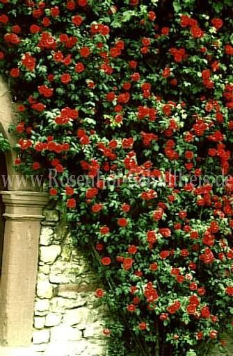 paul 39 s scarlet climber rosen online kaufen im rosenhof schultheis rosen online kaufen im. Black Bedroom Furniture Sets. Home Design Ideas
