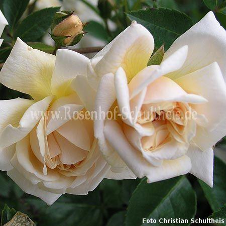 fernand tanne rosen online kaufen im rosenhof schultheis. Black Bedroom Furniture Sets. Home Design Ideas