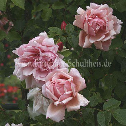 albertine rosen online kaufen im rosenhof schultheis rosen online kaufen im rosenhof schultheis. Black Bedroom Furniture Sets. Home Design Ideas