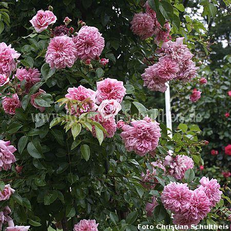 paul no l rosen online kaufen im rosenhof schultheis rosen online kaufen im rosenhof schultheis. Black Bedroom Furniture Sets. Home Design Ideas
