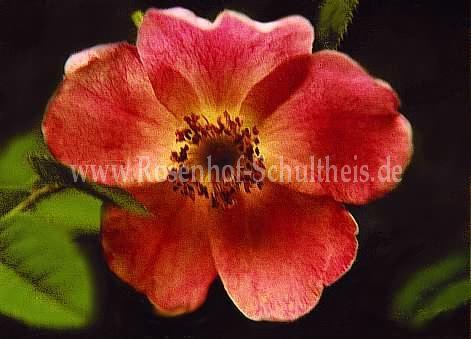 rosa achburensis rosen online kaufen im rosenhof schultheis rosen online kaufen im rosenhof. Black Bedroom Furniture Sets. Home Design Ideas