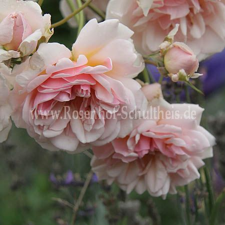felicia rosen online kaufen im rosenhof schultheis rosen online kaufen im rosenhof schultheis. Black Bedroom Furniture Sets. Home Design Ideas