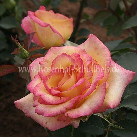 jean piat rosen online kaufen im rosenhof schultheis rosen online kaufen im rosenhof schultheis. Black Bedroom Furniture Sets. Home Design Ideas