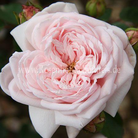 awakening rosen online kaufen im rosenhof schultheis. Black Bedroom Furniture Sets. Home Design Ideas