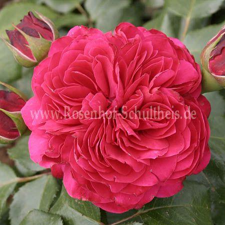 red leonardo da vinci rosen online kaufen im rosenhof schultheis rosen online kaufen im. Black Bedroom Furniture Sets. Home Design Ideas