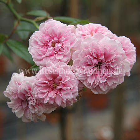 petit bonheur rosen online kaufen im rosenhof schultheis rosen online kaufen im rosenhof. Black Bedroom Furniture Sets. Home Design Ideas