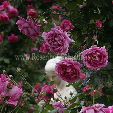 parade rosen online kaufen im rosenhof schultheis. Black Bedroom Furniture Sets. Home Design Ideas