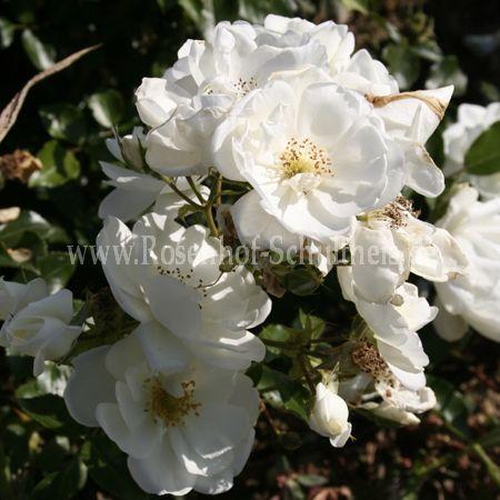 schneeflocke rosen online kaufen im rosenhof schultheis rosen online kaufen im rosenhof. Black Bedroom Furniture Sets. Home Design Ideas