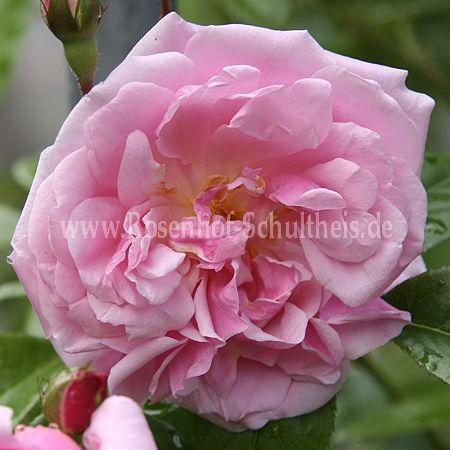 tea rambler rosen online kaufen im rosenhof schultheis. Black Bedroom Furniture Sets. Home Design Ideas