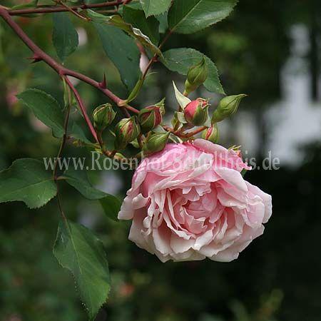 albertine rosen online kaufen im rosenhof schultheis. Black Bedroom Furniture Sets. Home Design Ideas
