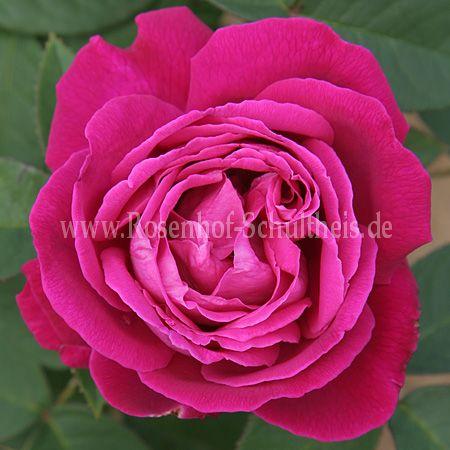 tom wood rosen online kaufen im rosenhof schultheis rosen online kaufen im rosenhof schultheis. Black Bedroom Furniture Sets. Home Design Ideas