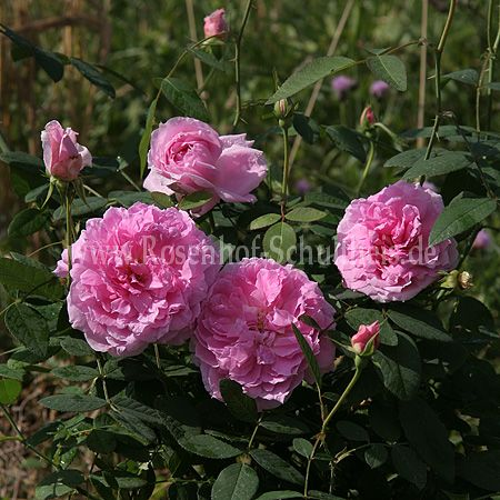 the mayflower rosen online kaufen im rosenhof schultheis. Black Bedroom Furniture Sets. Home Design Ideas
