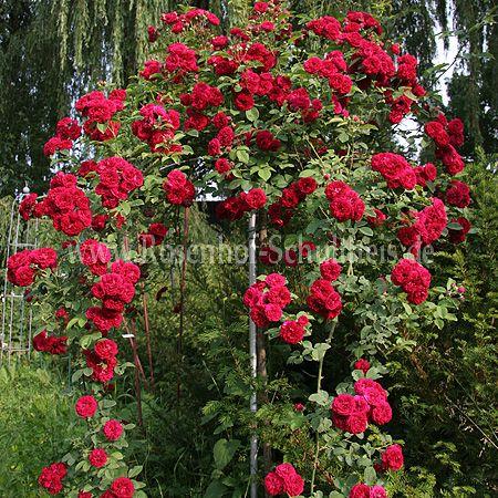 chevy chase rosen online kaufen im rosenhof schultheis. Black Bedroom Furniture Sets. Home Design Ideas
