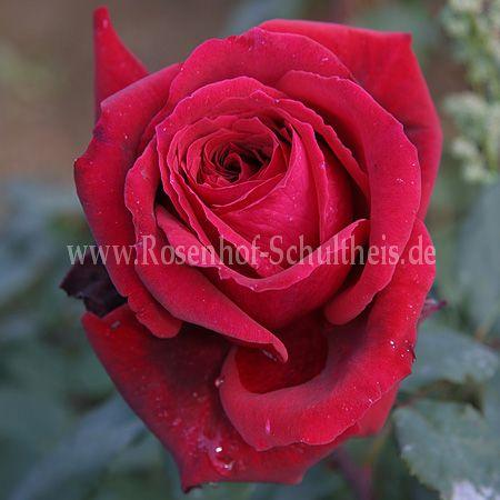 duftfestival rosen online kaufen im rosenhof schultheis rosen online kaufen im rosenhof. Black Bedroom Furniture Sets. Home Design Ideas