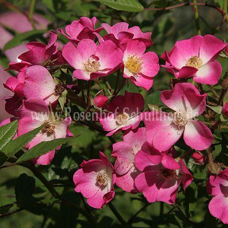 mozart rosen online kaufen im rosenhof schultheis rosen online kaufen im rosenhof schultheis. Black Bedroom Furniture Sets. Home Design Ideas