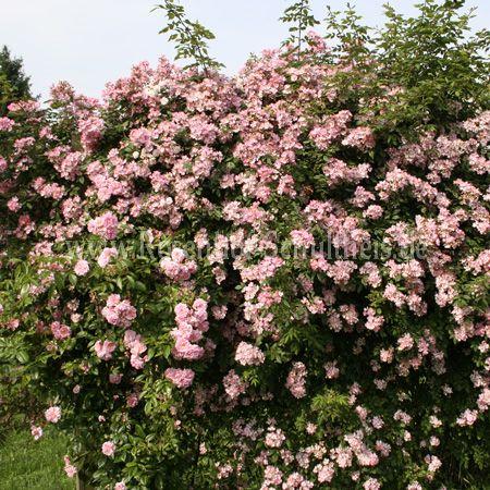 alfred dietrich rosen online kaufen im rosenhof. Black Bedroom Furniture Sets. Home Design Ideas