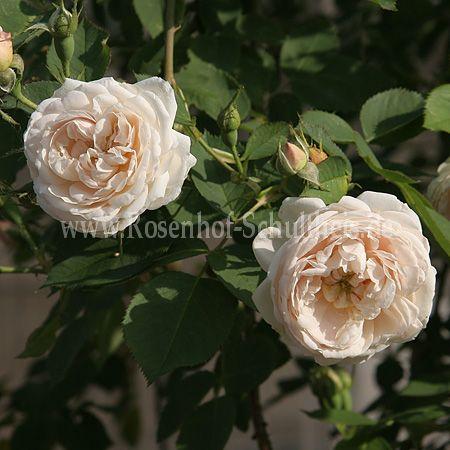 nnchen von tharau rosen online kaufen im rosenhof. Black Bedroom Furniture Sets. Home Design Ideas