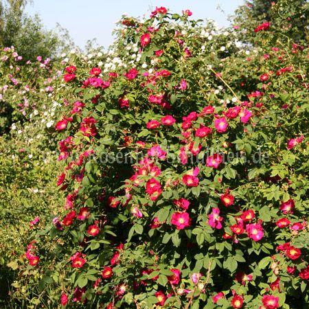 scharlachglut rosen online kaufen im rosenhof schultheis rosen online kaufen im rosenhof. Black Bedroom Furniture Sets. Home Design Ideas