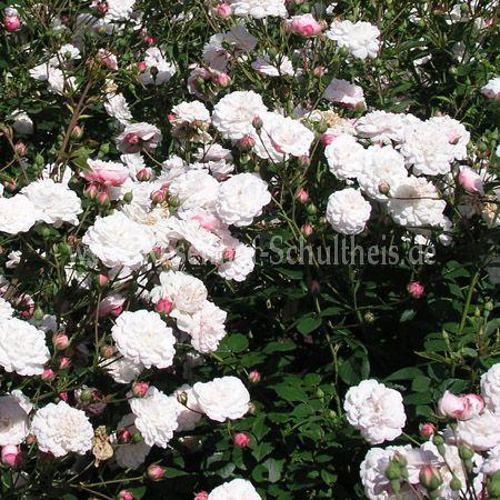 little white pet rosen online kaufen im rosenhof schultheis rosen online kaufen im rosenhof. Black Bedroom Furniture Sets. Home Design Ideas