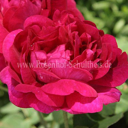 conditorum rosen online kaufen im rosenhof schultheis rosen online kaufen im rosenhof schultheis. Black Bedroom Furniture Sets. Home Design Ideas