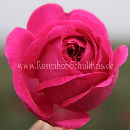 prince noir rosen online kaufen im rosenhof schultheis rosen online kaufen im rosenhof. Black Bedroom Furniture Sets. Home Design Ideas