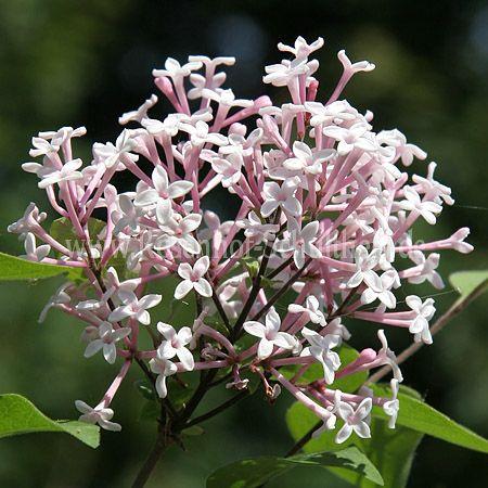 syringa microphylla 39 superba 39 rosen online kaufen im rosenhof schultheis rosen online kaufen. Black Bedroom Furniture Sets. Home Design Ideas