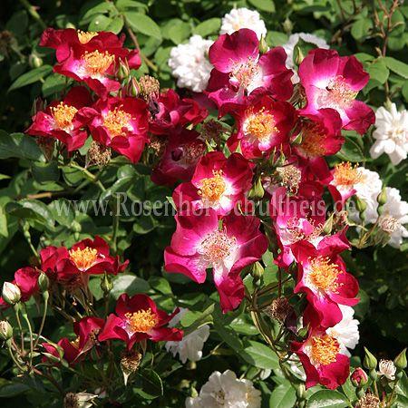 hiawatha rosen online kaufen im rosenhof schultheis rosen online kaufen im rosenhof schultheis. Black Bedroom Furniture Sets. Home Design Ideas