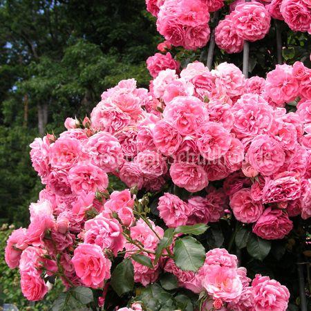 rosarium uetersen rosen online kaufen im rosenhof. Black Bedroom Furniture Sets. Home Design Ideas