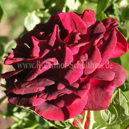 thor rosen online kaufen im rosenhof schultheis rosen. Black Bedroom Furniture Sets. Home Design Ideas