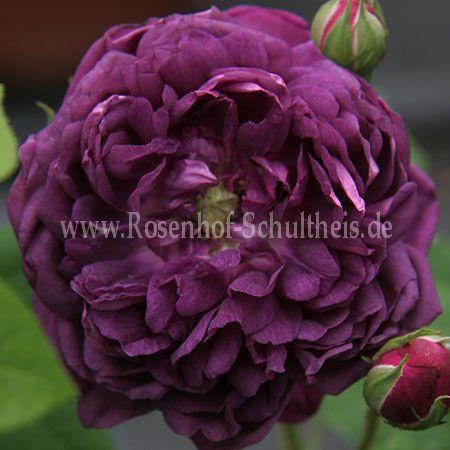cardinal de richelieu rosen online kaufen im rosenhof. Black Bedroom Furniture Sets. Home Design Ideas
