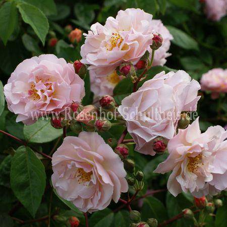 cornelia rosen online kaufen im rosenhof schultheis rosen online kaufen im rosenhof schultheis. Black Bedroom Furniture Sets. Home Design Ideas