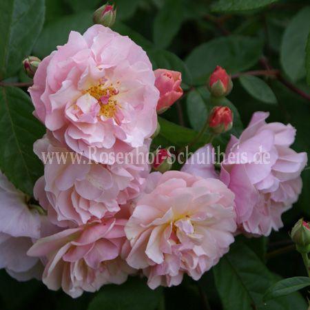 cornelia rosen online kaufen im rosenhof schultheis. Black Bedroom Furniture Sets. Home Design Ideas